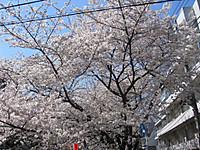 Sakura120408a_4